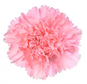 light-pink-carnation-flower